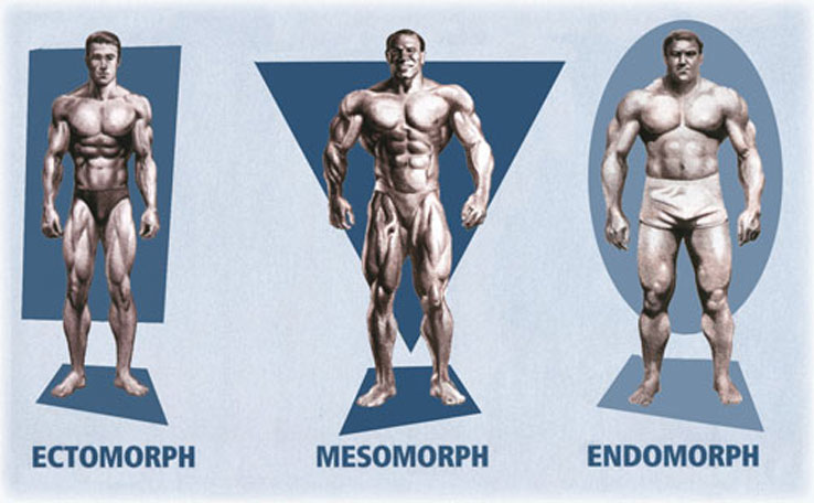 The 3 Somatotypes