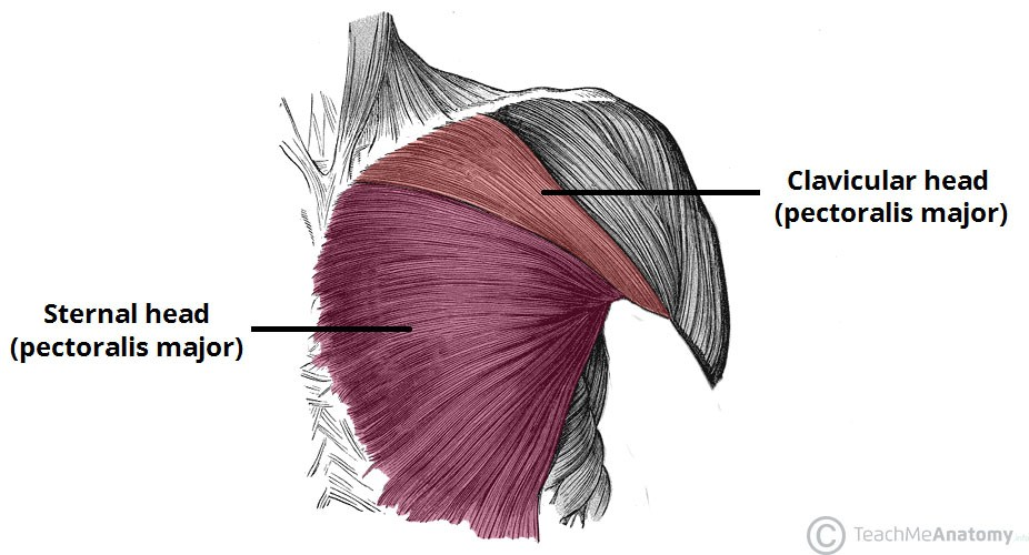 Never Forget the Clavicular Pectoralis