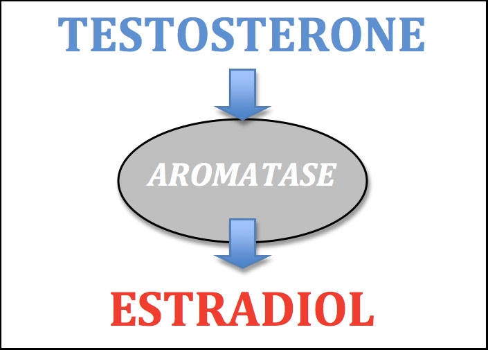 testosterone-converted-to-estradiol-via-aromatase